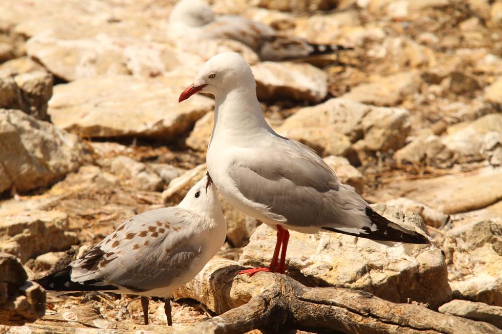 kaikoura-gulls